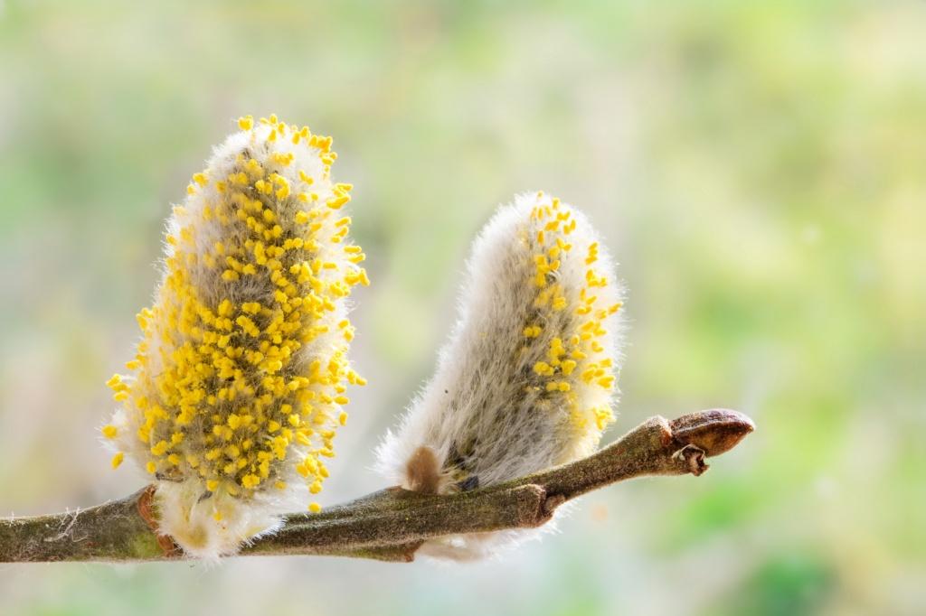 аллергия на пыльцу симптомы
