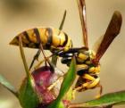 аллергия на пчелиный укус