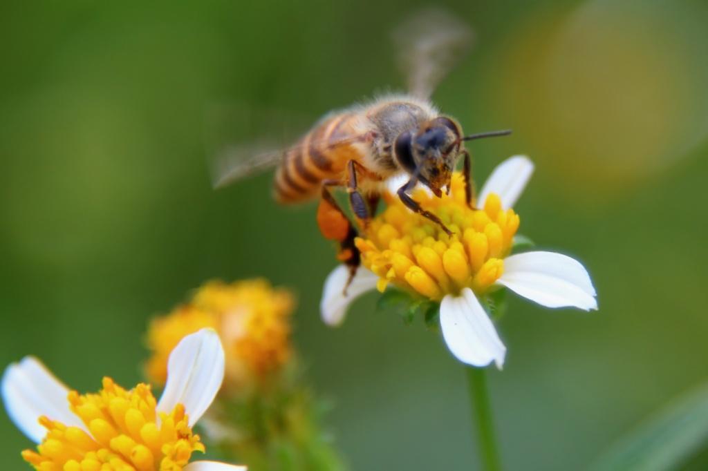 аллергия на пчел - фото пчелы