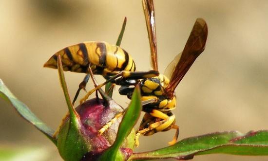 аллергия на укус осы - фото осы